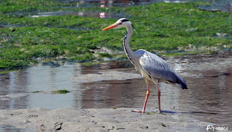 16th June 2015 - Heron in Looe river - © Ian Foster / fozimage
