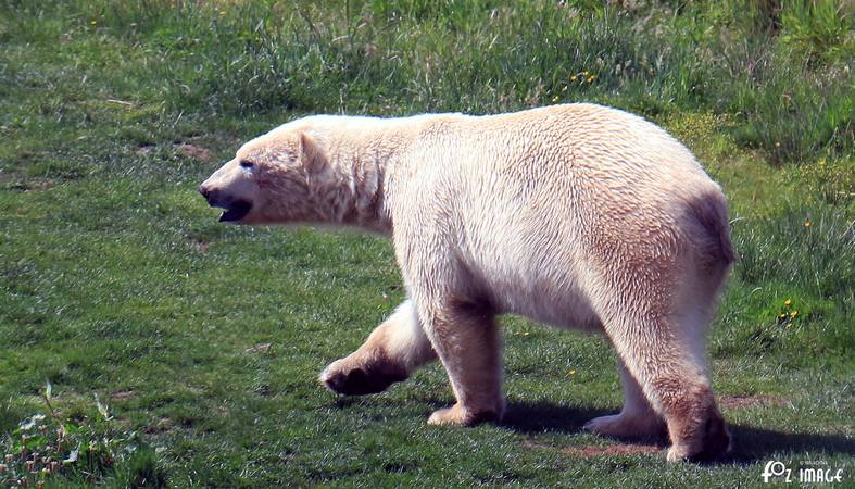 31 May 2017 - Yorkshire Wildlife Park - Polar Bear © Ian Foster / fozimage