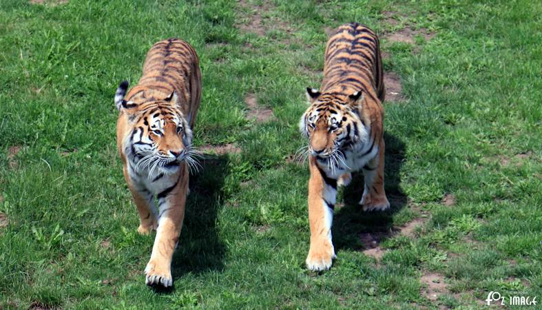 31 May 2017 - Yorkshire Wildlife Park - Amur Tigers © Ian Foster / fozimage