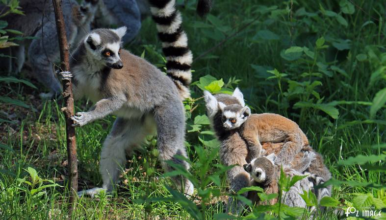 31 May 2017 - Yorkshire Wildlife Park - Lemurs © Ian Foster / fozimage